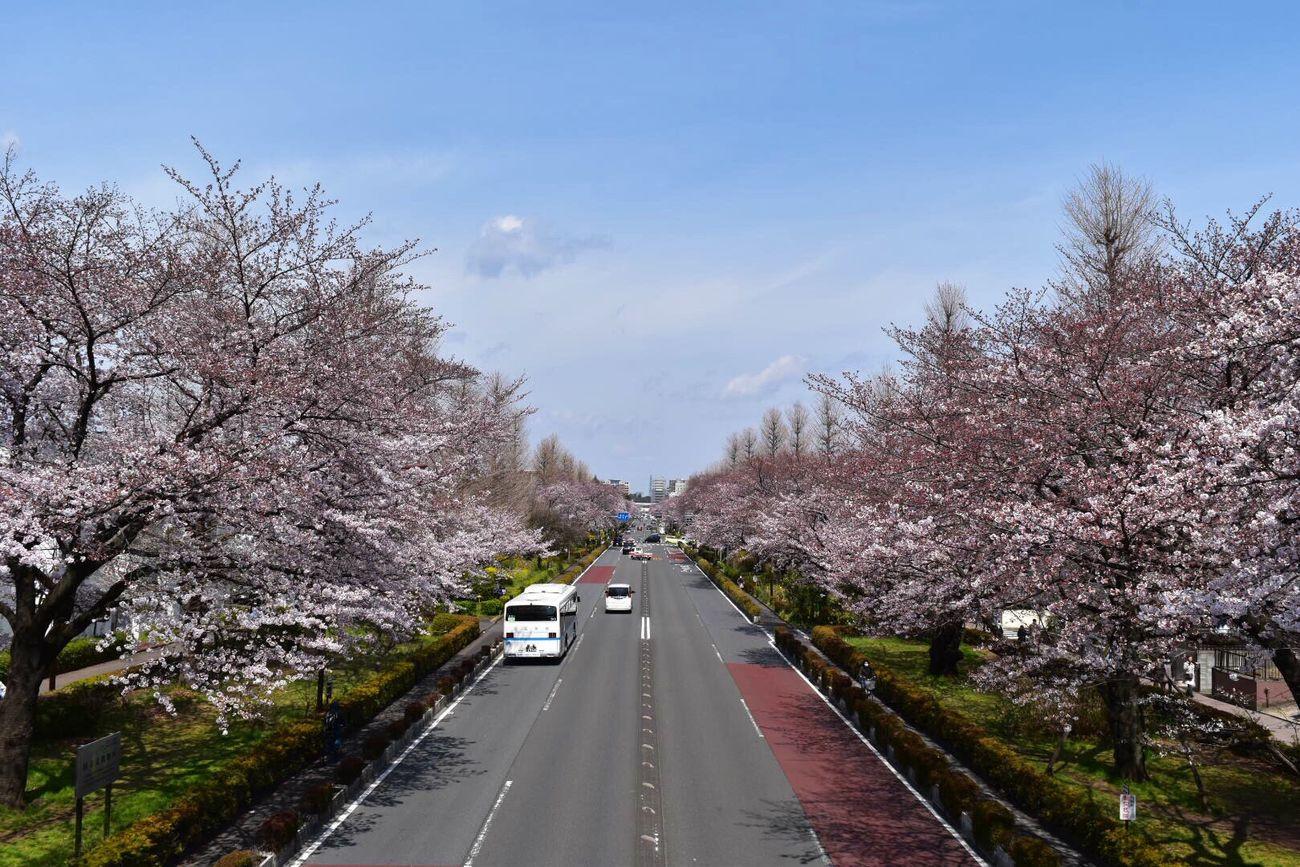 まだ5部咲きだったけどね 桜 Cherry Blossoms 国立 Kunitachi Pink Pink Flower Pink Color Nature