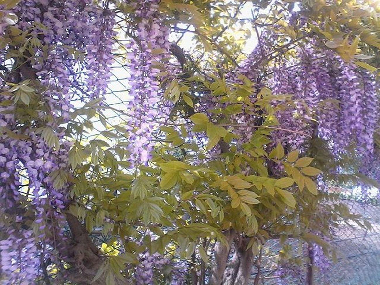 Glicine Spring