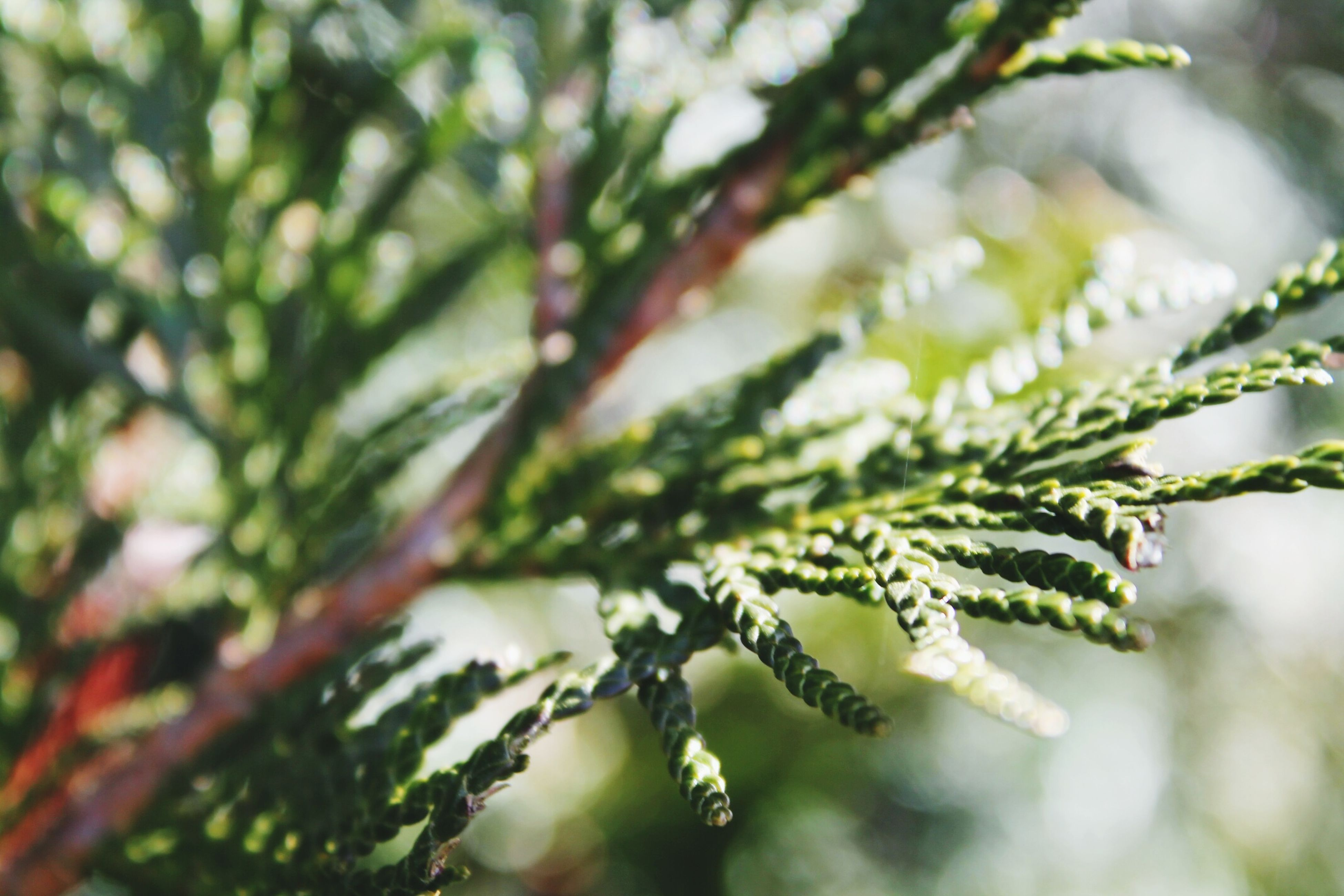 growth, close-up, focus on foreground, nature, leaf, plant, branch, selective focus, beauty in nature, tree, low angle view, day, botany, freshness, spiked, outdoors, fragility, twig, thorn, green color