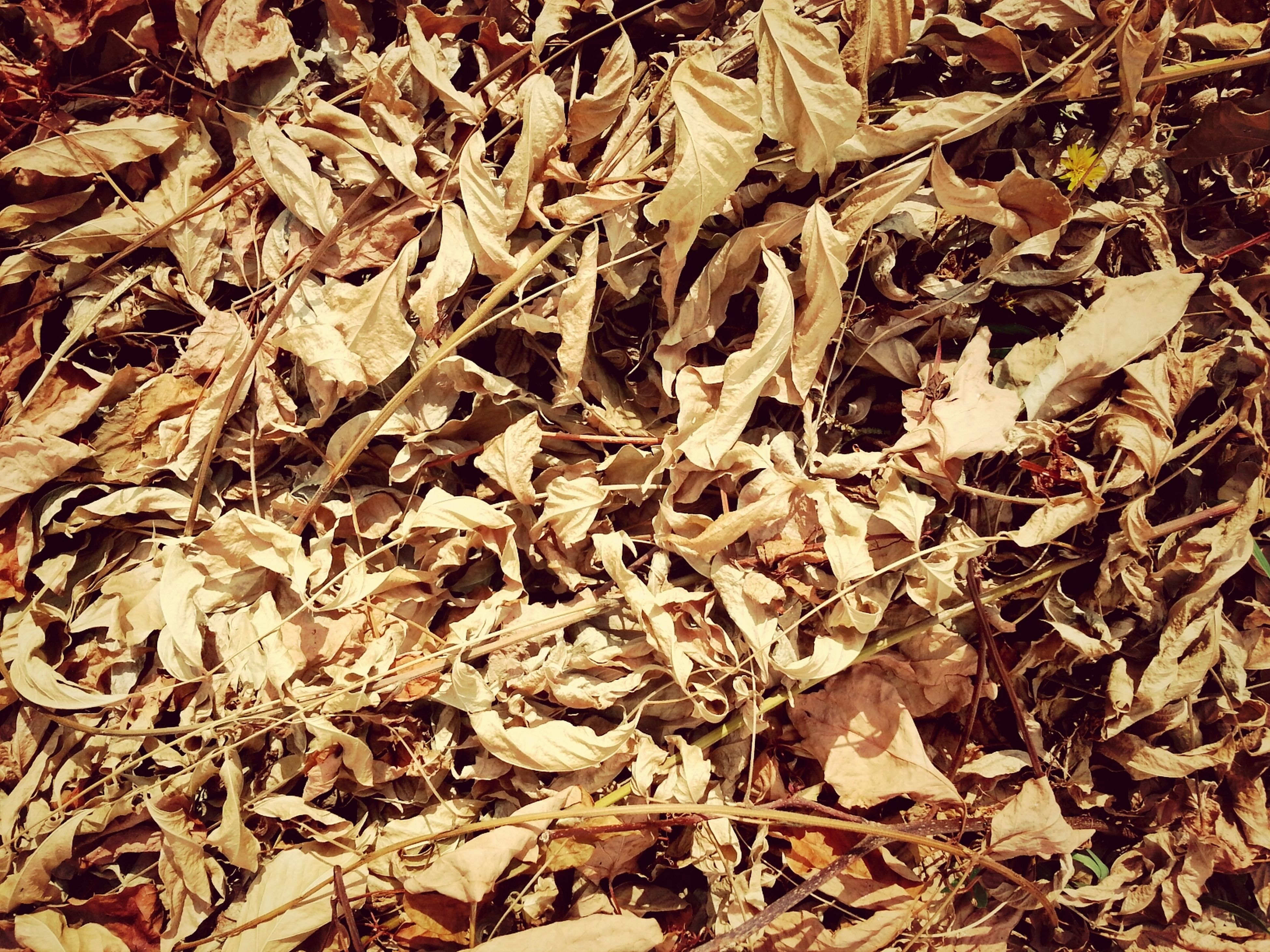 leaf, autumn, dry, change, leaves, full frame, high angle view, abundance, backgrounds, fallen, season, field, nature, ground, falling, day, large group of objects, messy, no people, outdoors