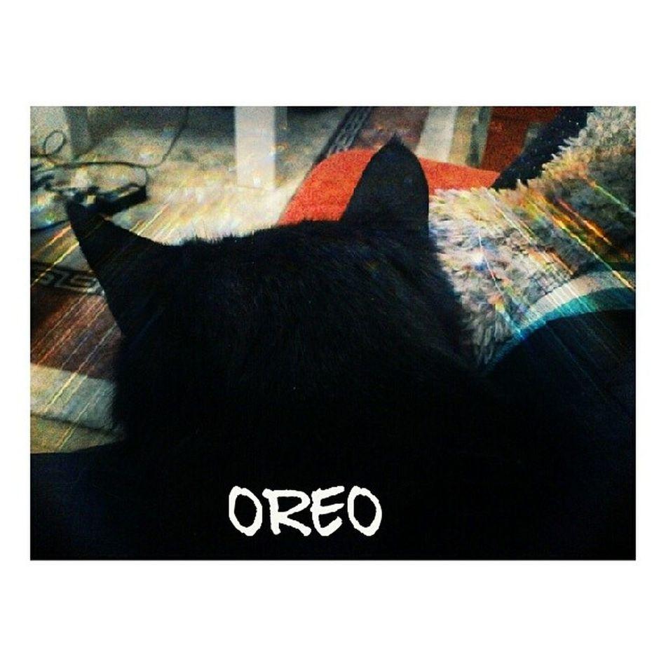 Meet our new baby Oreothecat Al sana GatoNegro benim icin kedi yapmislar
