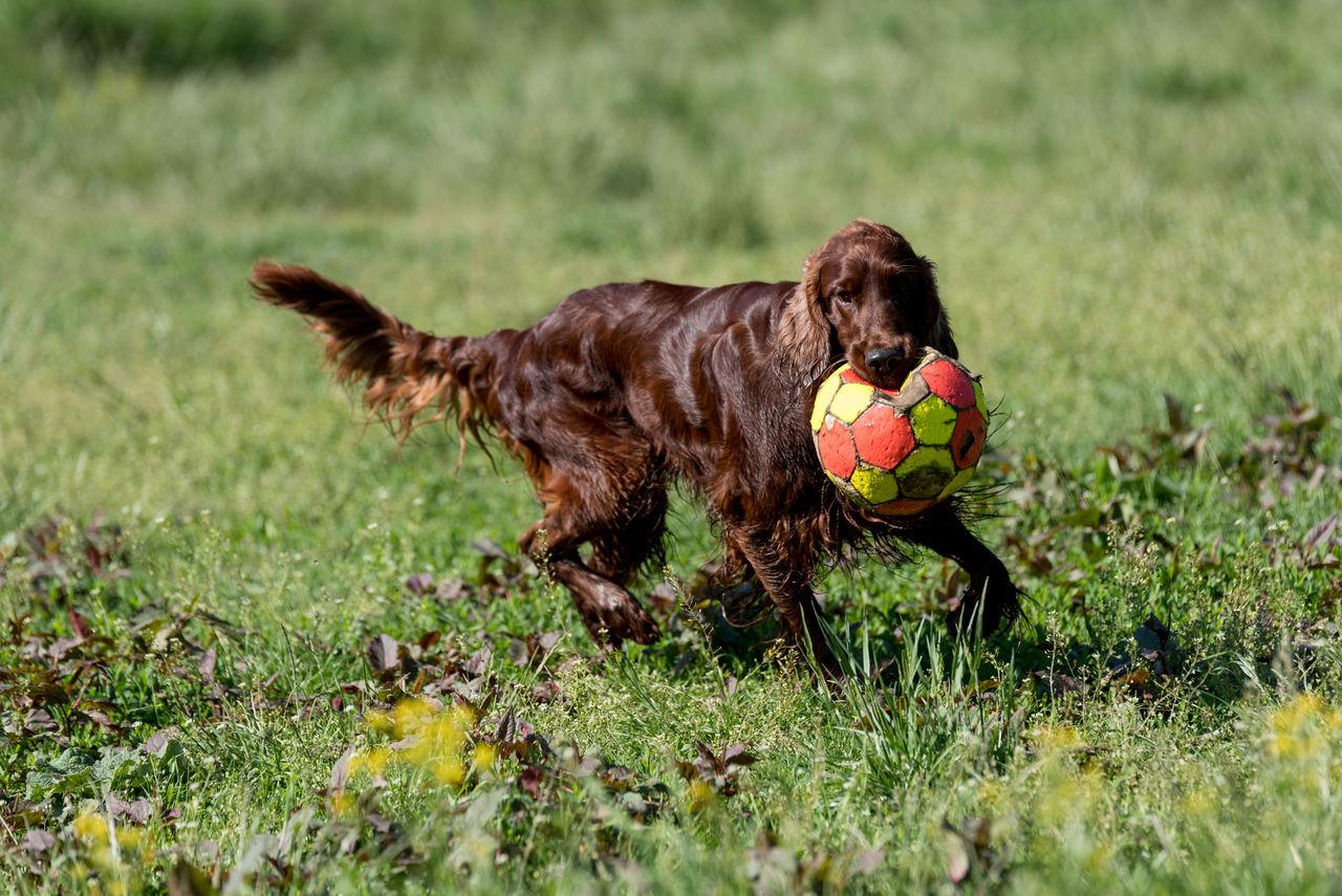 Portrait Of A Dog Running On Grassland