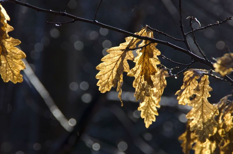 A pic from last autumn, the sunlight made the leaves blaze. Autumn Beauty In Nature Branch City Close-up Day Glasgow  Glow Golden Kelvingrove Leaf Leaf Vein Leaves Nature No People Outdoors Plant Scotland Season  Sunlight Tranquility Yellow Fine Art Photography