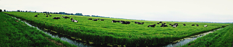Cows Natural Landscapes