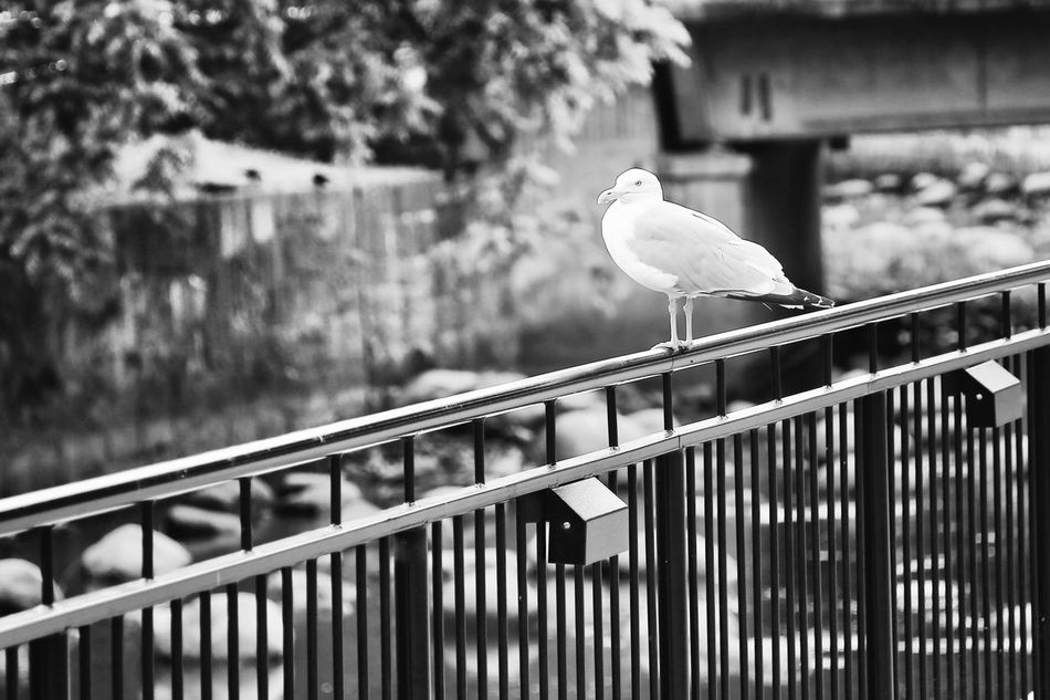 Bird Railing Animal Themes One Animal Perching Animal Wildlife Animals In The Wild Day Outdoors No People First Eyeem Photo Hello World Exceptional Photographs City Miles Away Nature EyeEm Masterclass Focus On Foreground Black And White Black & White Blackandwhite