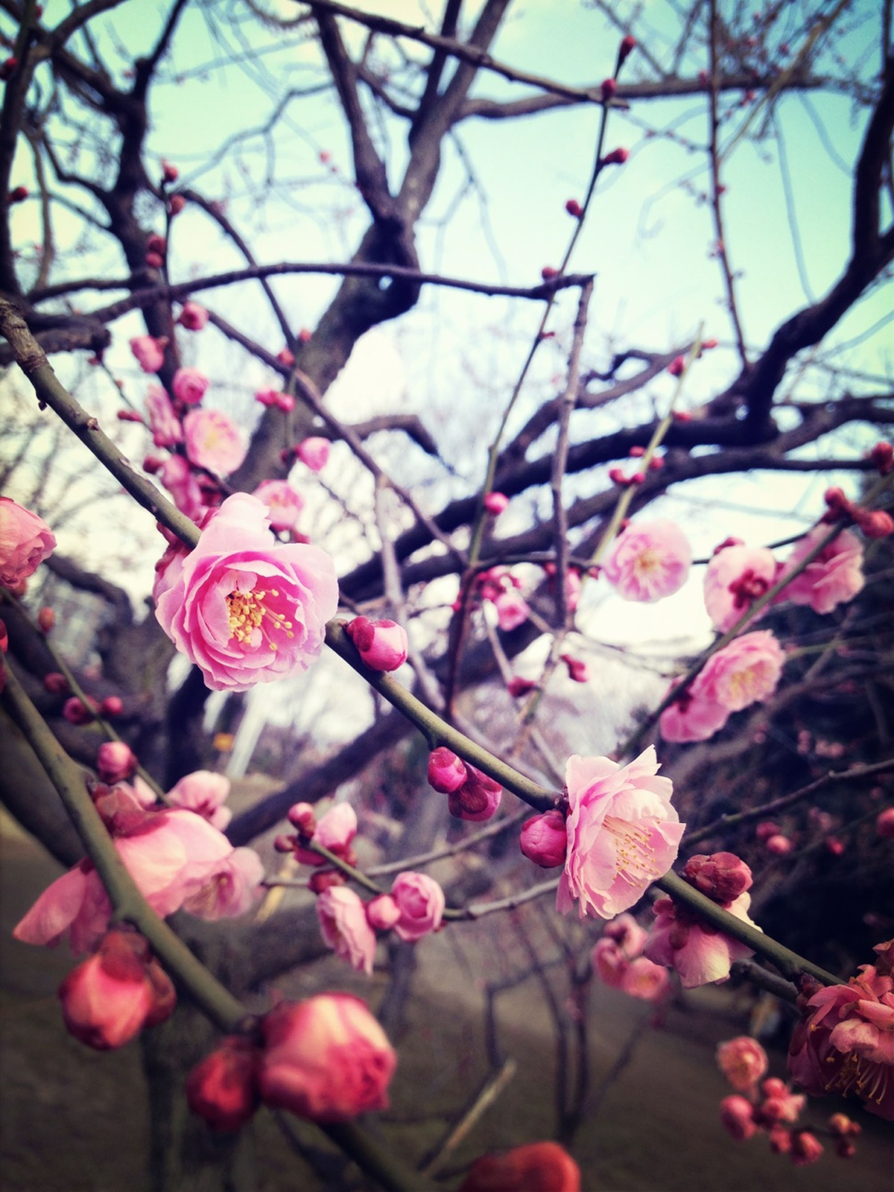 flower, branch, growth, tree, freshness, fragility, focus on foreground, pink color, nature, twig, beauty in nature, close-up, cherry blossom, blossom, cherry tree, low angle view, petal, in bloom, blooming, day