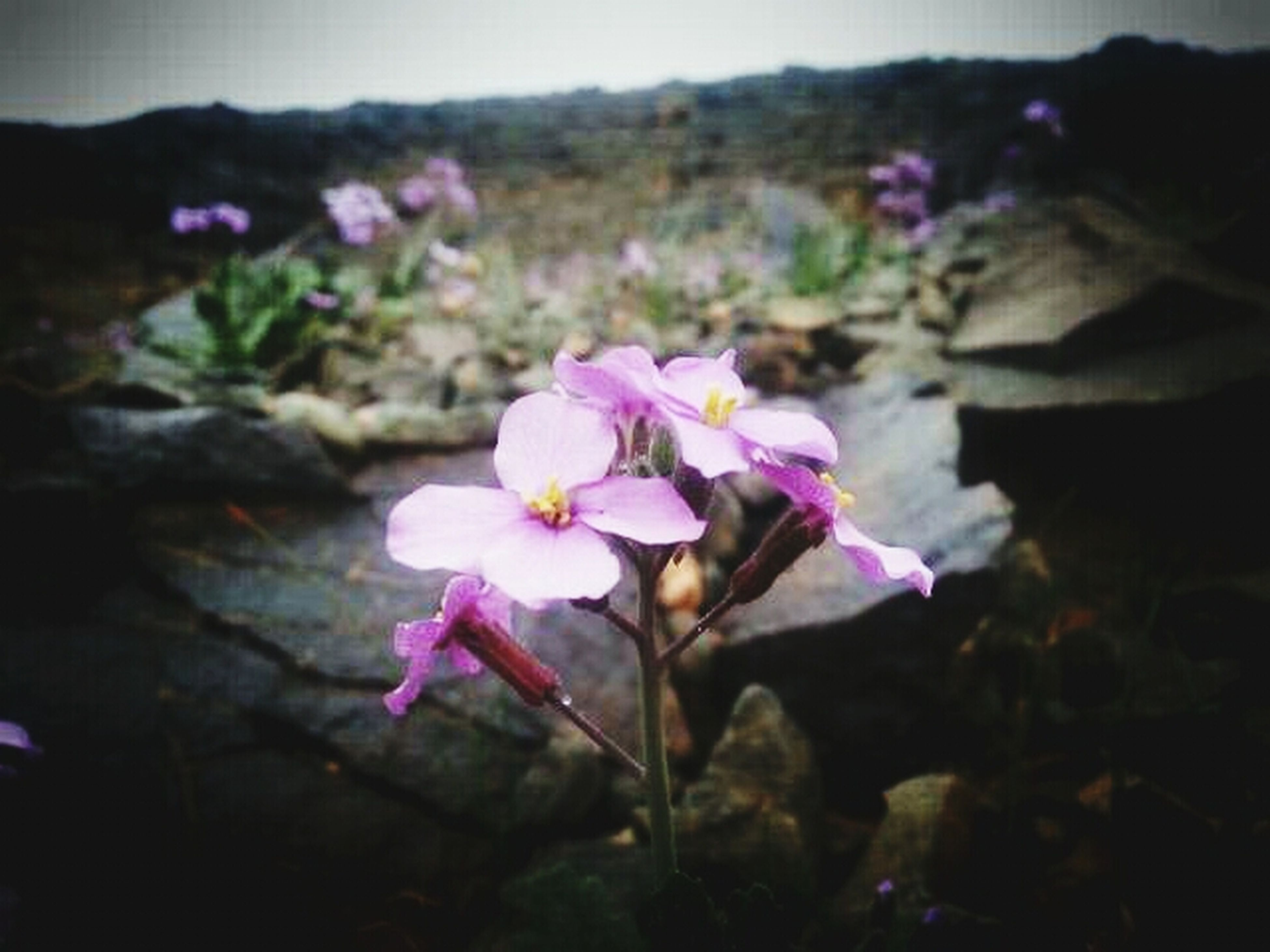 flower, freshness, fragility, petal, growth, flower head, beauty in nature, close-up, nature, focus on foreground, blooming, pink color, plant, purple, blossom, in bloom, stem, selective focus, outdoors, no people