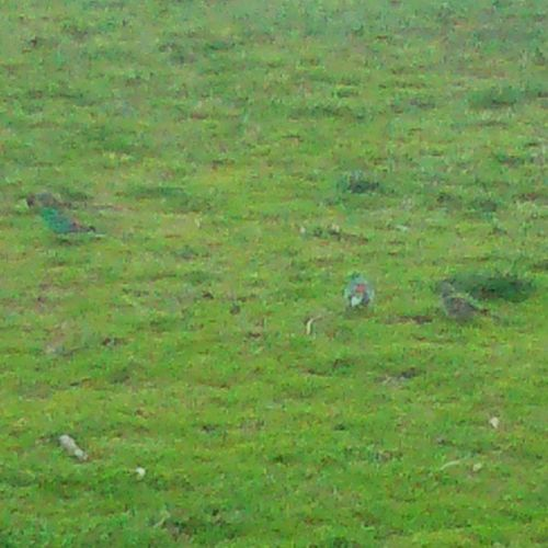 How many camouflaged tweeties do you see? 1,2,3? One of the reasons I miss our bricked HTC , the utter graniness of the Xperia SP's camera at any level of zoom... *sighs*
