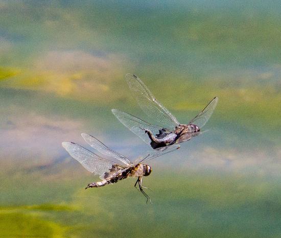 Bugs Dragonfly Eye4photography  EyeEm Best Edits EyeEm Best Shots EyeEm Best Shots - Nature EyeEm Gallery EyeEm Nature Lover EyeEmBestPics Mating Pair Of Dragonflies Mating Pair Of Insects Mating Ritual Mating Season Outdoors Papago Park Pond Pond Life Reflection