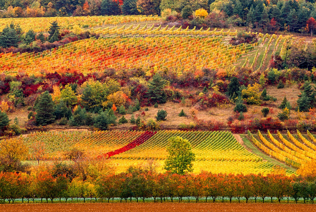 Burgundy Vinyards Agriculture Autumn Beauty In Nature Bourgogne Burgundy Colourful Color palette Colours Of Autumn Colours Of Nature Crop  Cultivated Land Field France Landscape Nature Orange Color Rural Scene Season  Tranquility Vinyards Wine Winery Yellow Color Palette