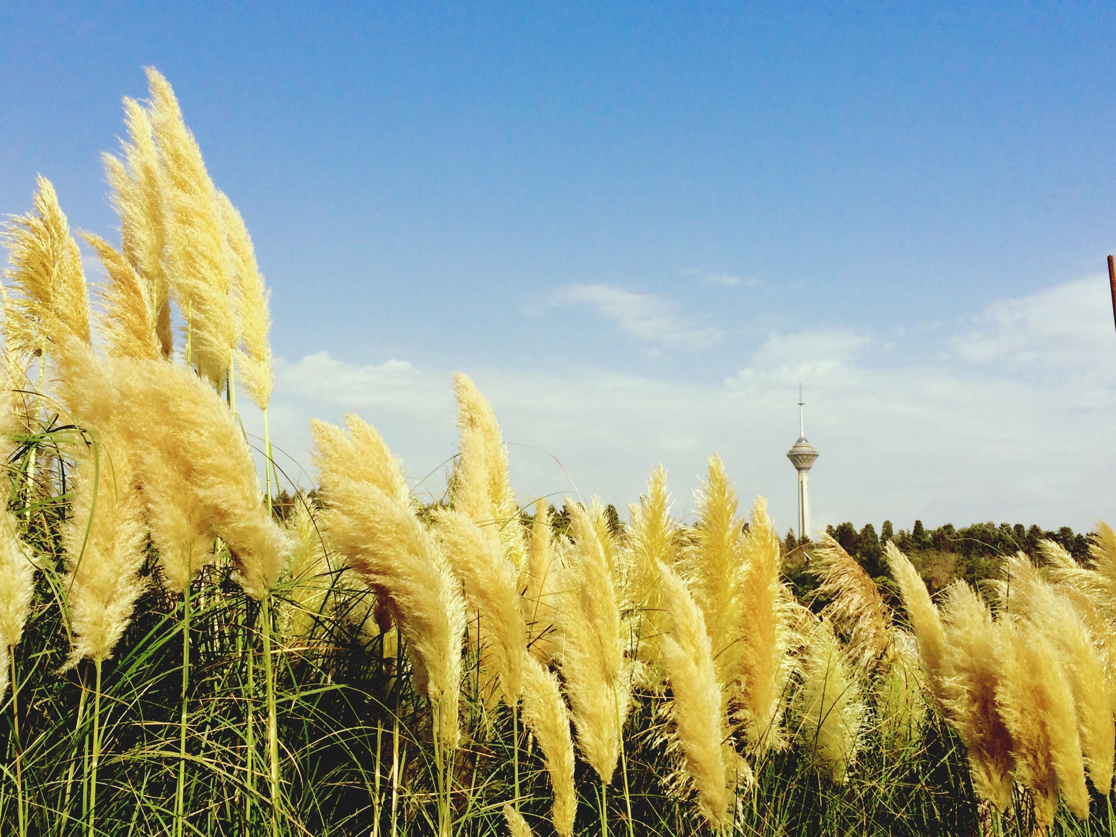 blue, sky, growth, beauty in nature, field, nature, landscape, tranquility, tranquil scene, clear sky, scenics, plant, rural scene, yellow, built structure, copy space, day, outdoors, agriculture, sunlight
