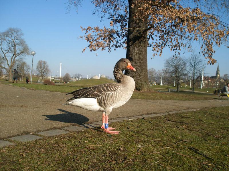 Animal Themes Anklet Beak Beak Bird Blue Sky Bluesky Day Duck One Animal Orange Beak Outdoors Park Parkarea Side View Sky Tree Trees Wild Duck