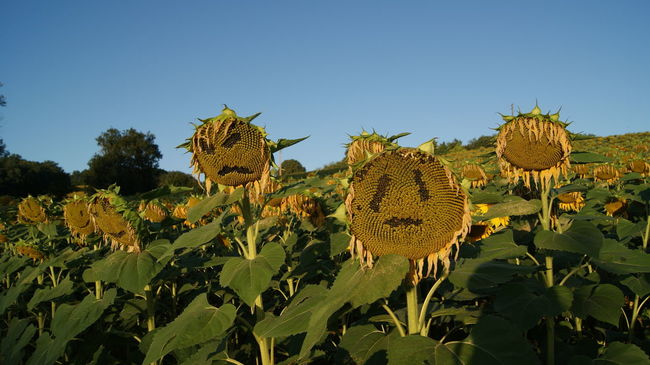 Agriculture Blue Cultures Day Decorations Emoji Face Faces Flowers Halloween Horizontal Landscape Nature No People Outdoors Plant Scary Sky Sunflower Sunflowers Field Tree Yellow Yellow Flower Yellow Flowers
