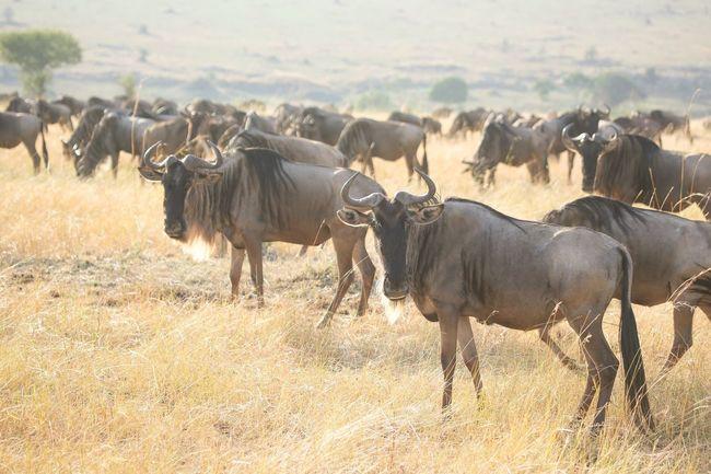 Wildebeest Animal Themes Non-urban Scene Herd Safari Great Migration Serengeti Serengeti National Park Tanzania African Safari African Animals