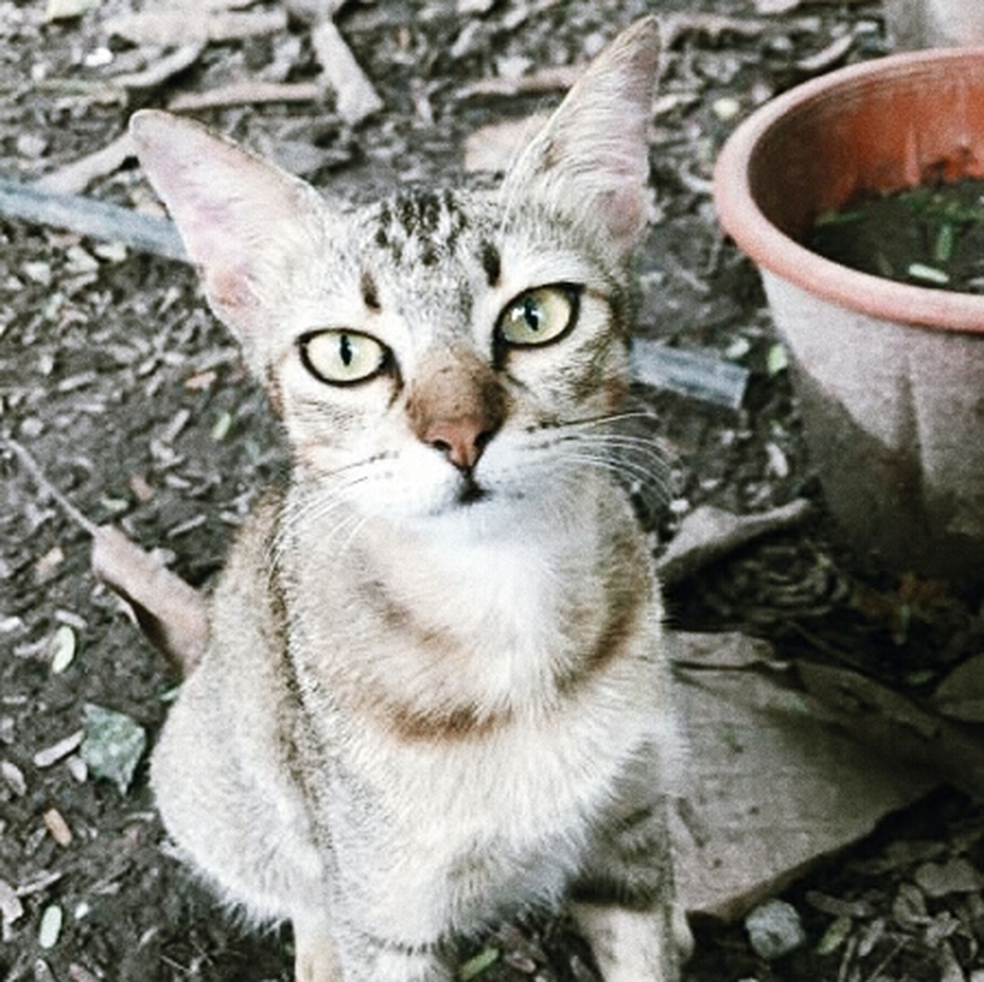 domestic cat, looking at camera, domestic animals, pets, one animal, feline, portrait, animal themes, mammal, outdoors, no people, day, close-up