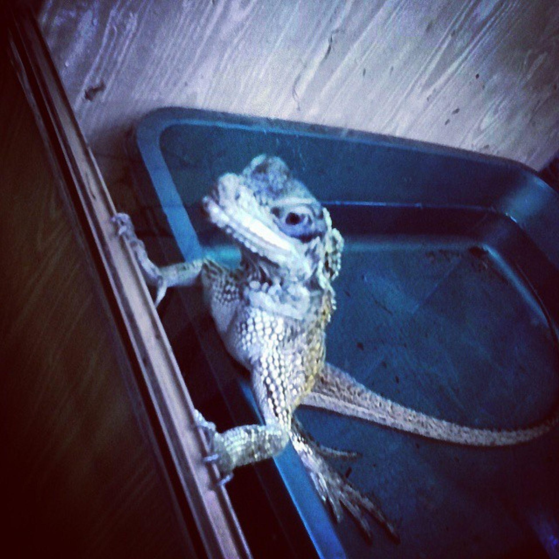 Lizard ящерица Lacertian жывотные Николаевский_зоопарк Природа