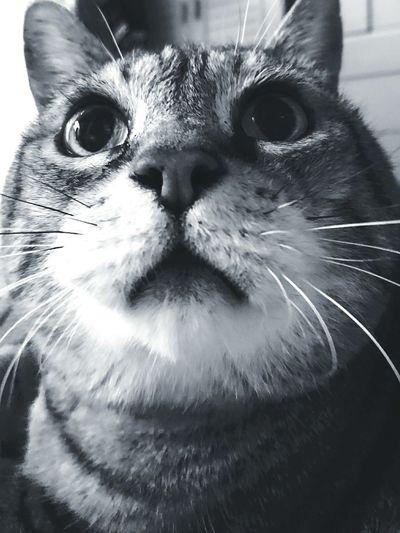 上 猫 ねこ ねこ 瞳 綺麗 かわいい 可愛い いきもの 動物 ふわふわ モコモコ