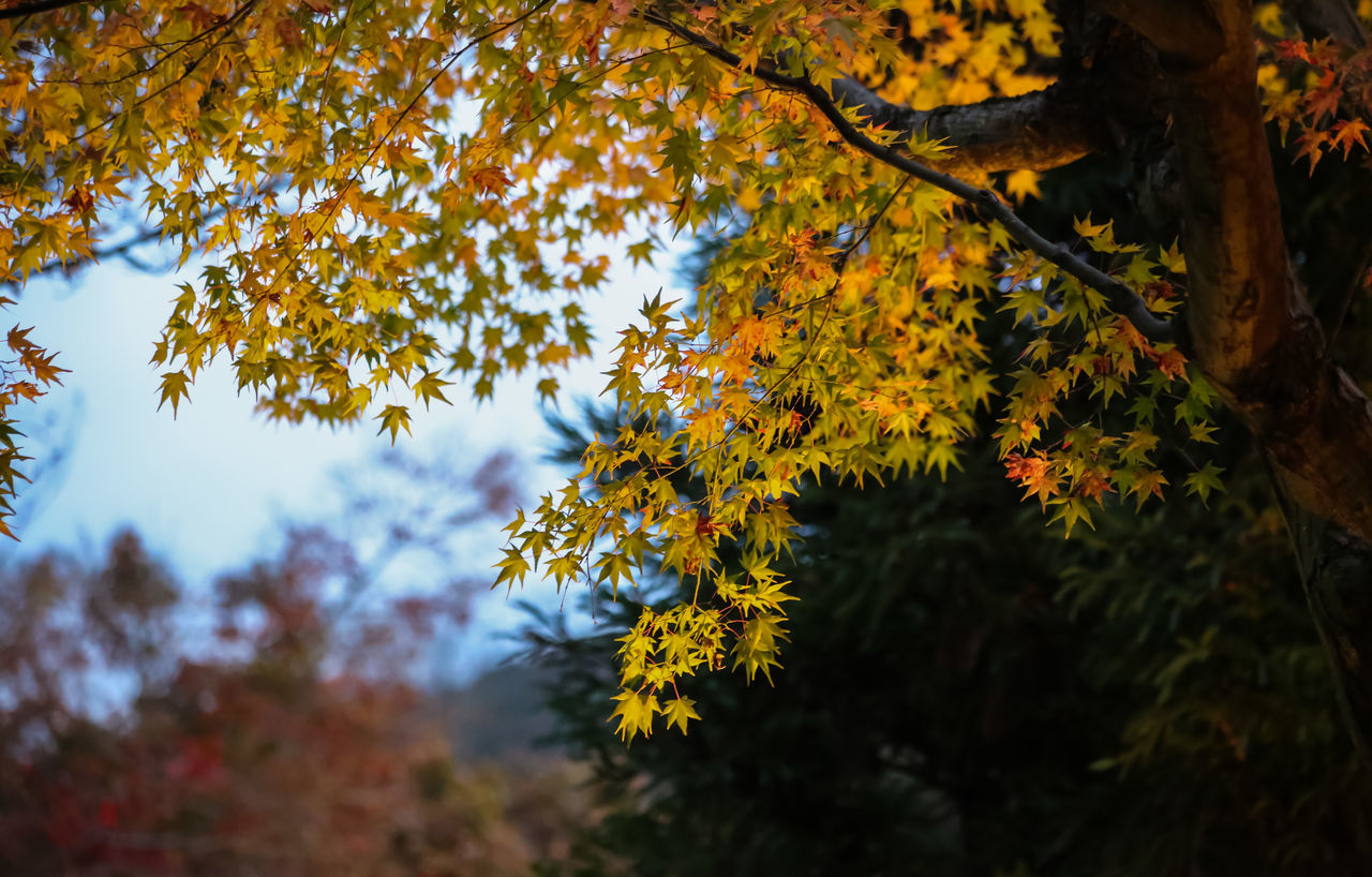 Maple leaves Autumn Collection Autumn Colors Autumn In Japan Autumn Leaves Beautiful Nature Beauty In Nature Color Palette Colorful EyeEm Gallery EyeEm Nature Lover Finding New Frontiers Maple Maple Leaves Maple Tree Nature No People Outdoors Tree Tree Porn Tree Silhouette Tree Trunk