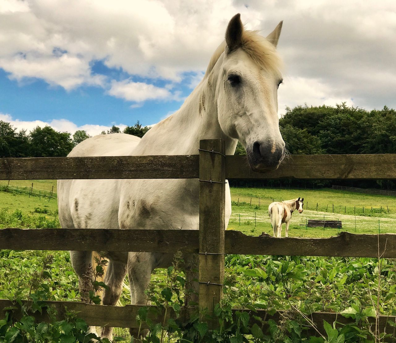 horse, domestic animals, animal themes, mammal, paddock, livestock, herbivorous, one animal, sky, field, day, standing, tree, cloud - sky, foal, outdoors, no people, grazing, grass, rural scene, nature