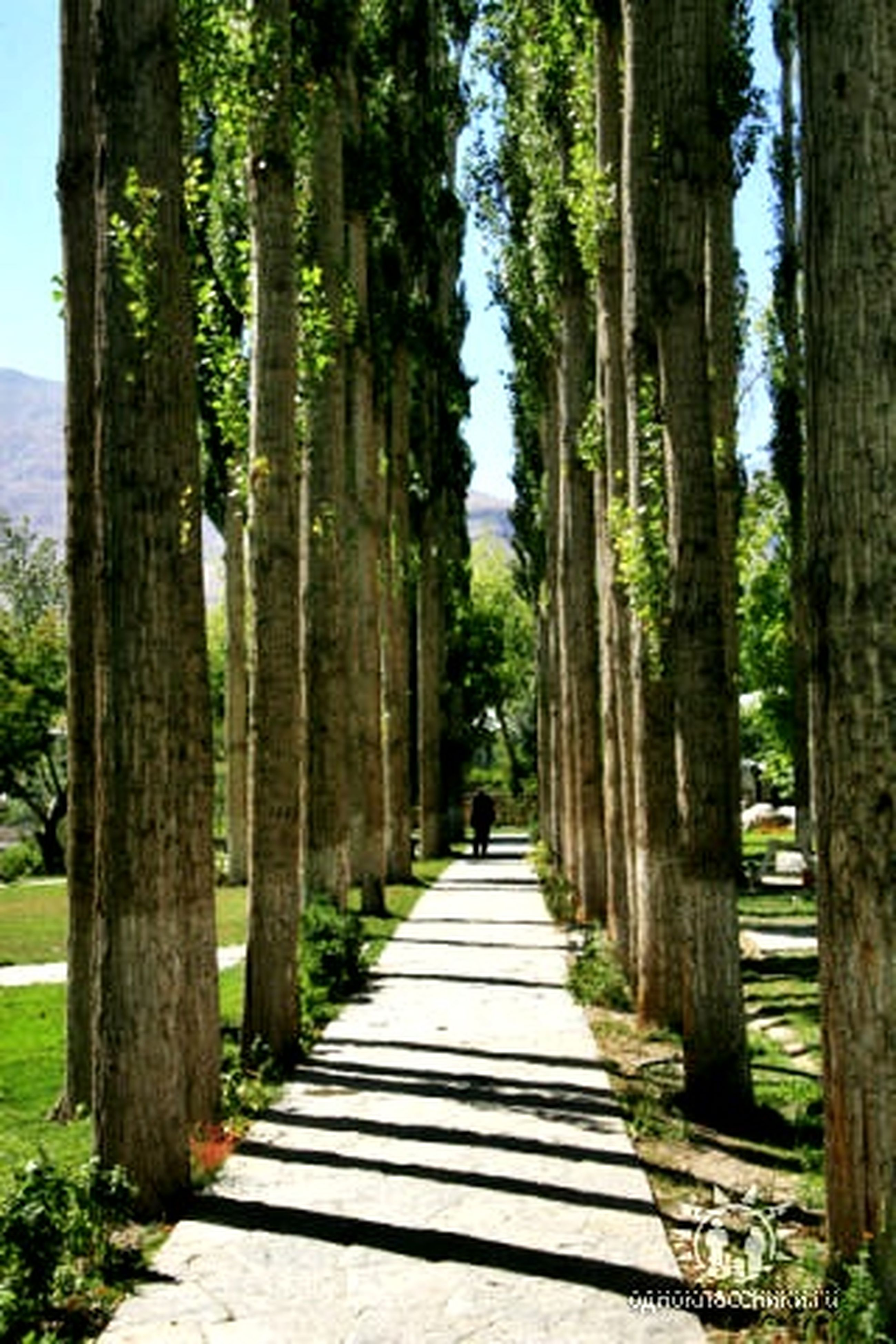 tree, the way forward, diminishing perspective, treelined, vanishing point, tree trunk, tranquility, footpath, tranquil scene, nature, walkway, pathway, growth, in a row, beauty in nature, scenics, narrow, park - man made space, day, incidental people