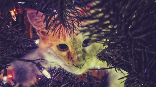 Best Christmas Lights .... A Kitten's first Christmas is always an entertaining one - Shot at home in Arroyo Grande, Ca. Showcase: December From My Point Of View Light And Shadow Taking Photos Kitten Eye4photography  EyeEm Lights Animals Night Lights Holiday Christmas Tree Enjoying Life Beautiful Cat EyeEm Best Shots Getting Inspired Animal Photography Animal Meet My Perspective