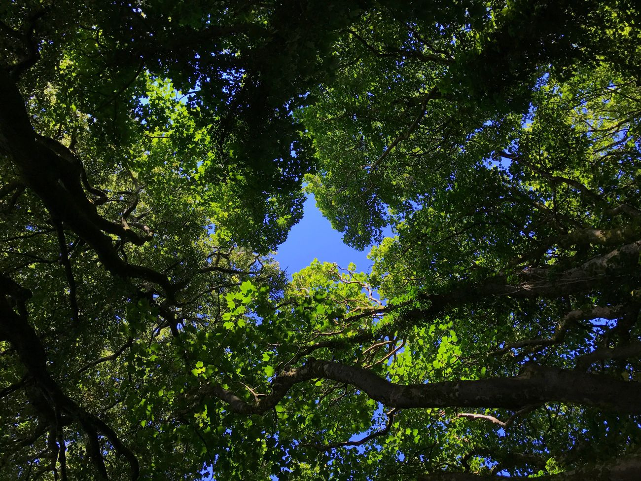 Tree canopy overhead Tree Nature Low Angle View Tranquility Beauty In Nature Forest No People Green Color Scenics Day Branch Growth Outdoors Sky Courtmacsherry Wild Atlantic Way County Cork Ireland