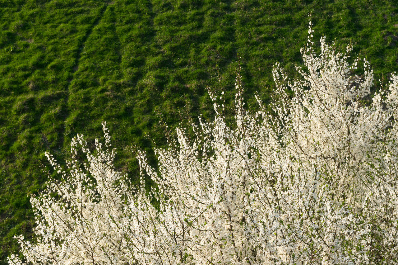 White Blossom Bloom Blossom Day Detail Flowers Freshness Grass Green Green Color Landscape Leaf Nature Outdoors Scenics Spring Springtime Tree White