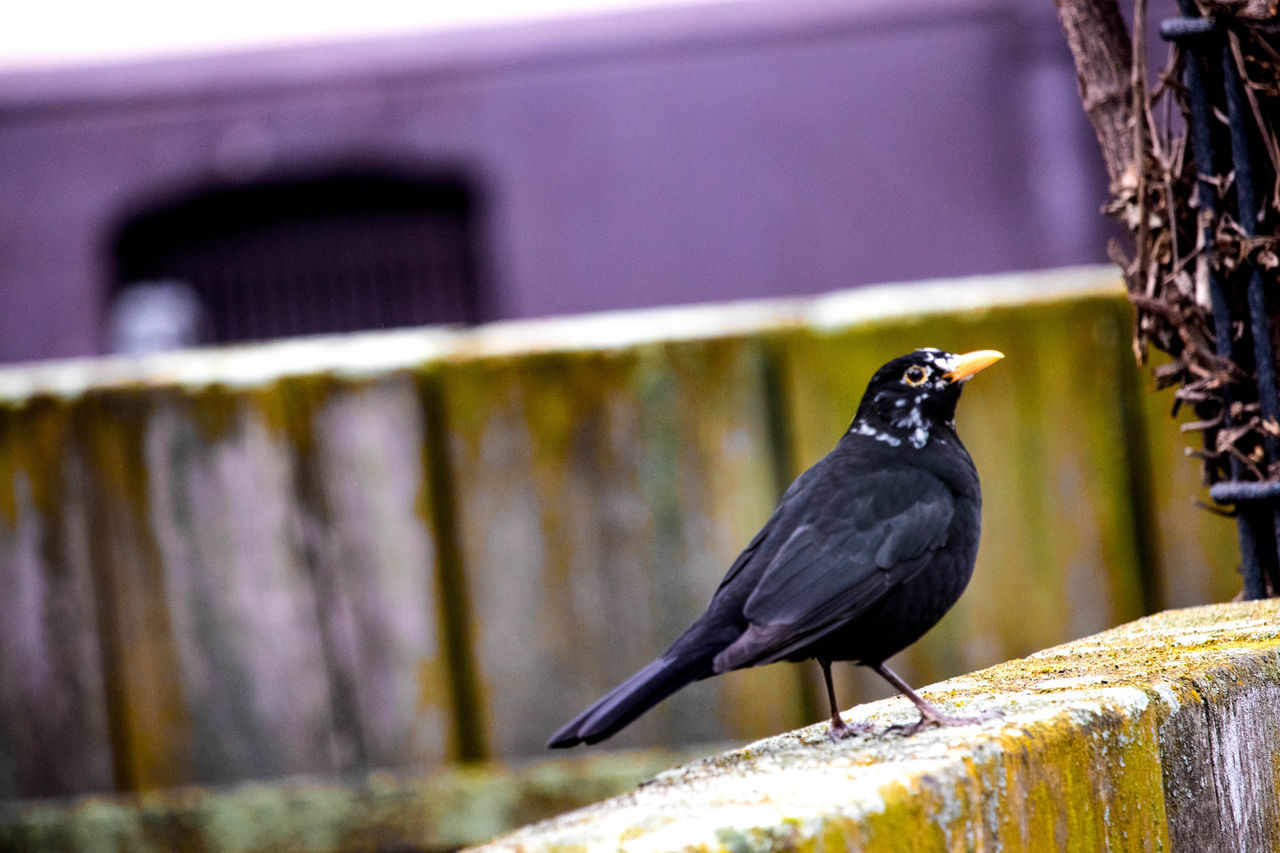 bird, animal themes, animals in the wild, perching, one animal, animal wildlife, crow, focus on foreground, day, black color, raven - bird, blackbird, no people, outdoors, nature, close-up