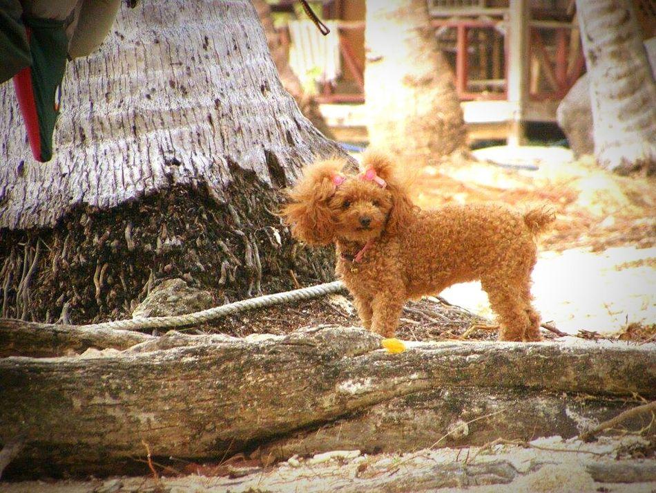 Mammal One Animal Outdoors Day Dog Susan Domestic Animals Thailand Beach Cute Dog  Cutie Adorable Dog Koh Tao
