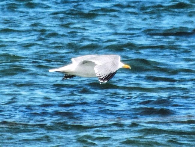 Sea And Sky Ocean Atlantic Ocean Massachusetts Seaside_collection Water_collection Outdoor Photography Seascape Outdoors Streamzoofamily New England  June 2016 Outside Photography Wildlife & Nature Bird Birds Of EyeEm  Bird Photography Birds Nature_collection Seagulls Seagull Seaside Sea