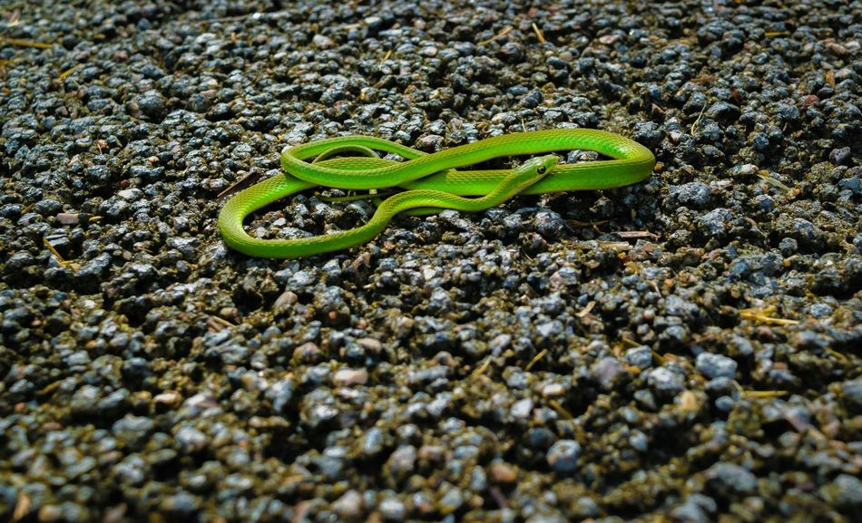 Even the snakes pose for me :) Bright green garden snake Snake Green Garden Walking Around Traveling Amphibian Tadaa Community EyeEm Best Shots Ladyphotographerofthemonth Enjoying The Sun