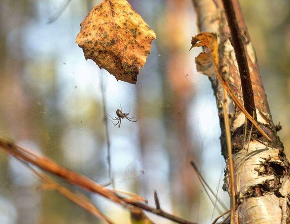 Forest Spider паучок