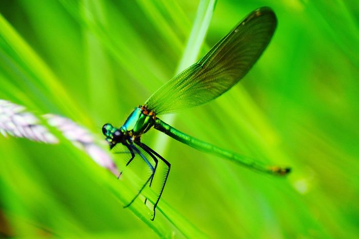Nature's Diversities All Green Libelle Flying Insect Flora And Fauna Balance Nature_perfection Structure And Nature Close-up Movement Beauty In Nature Oil Colour Species Dragonfly