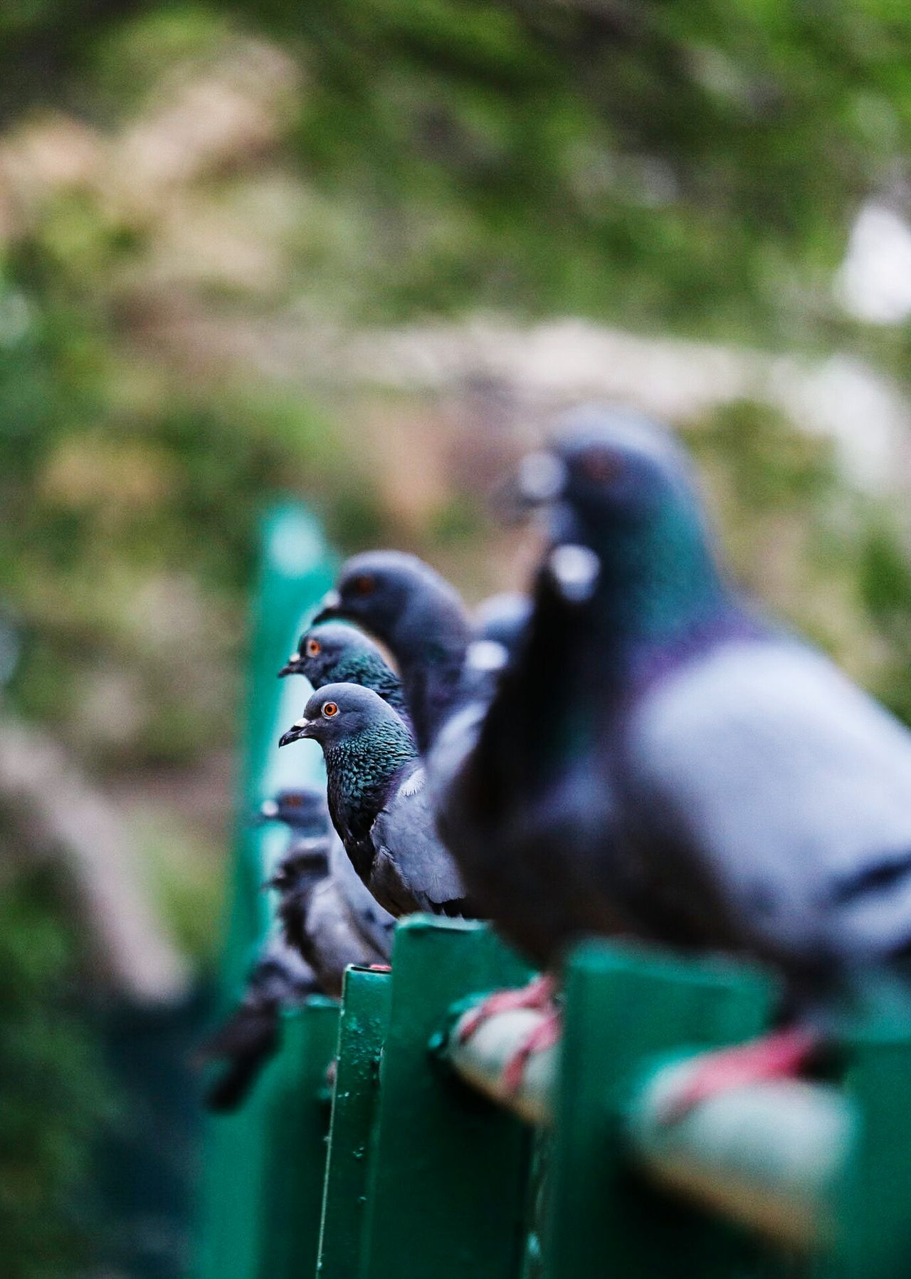 Pigeons Pigeonslife Pigeons Birds Pigeons Everywhere Close-up Animal Themes Animal Wildlife Bird Outdoors Animals In The Wild No People Bird Photography Bird Watching Colourfull Birds_collection Living Organism Purple Bird Canon 750d