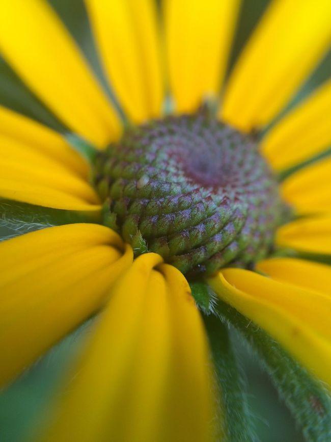 Yellow Flower Macro Photography Macro Nature Macro_flower Black-eyed Susan Nature Nature Photography