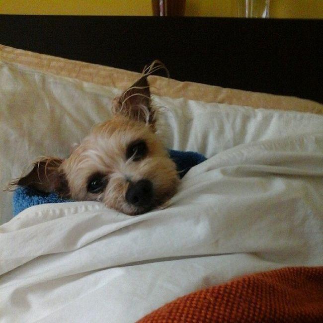 Bundled up in bed post-bath. ♡ Stanleypup Stanleymuffins Obsessedwithmydog Obsesssed lovemydog dogstagram muffinsgalore mydoghatesme