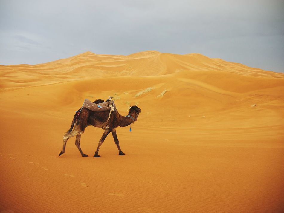 Beautiful stock photos of camel, Animal Themes, Beauty In Nature, Camel, Day