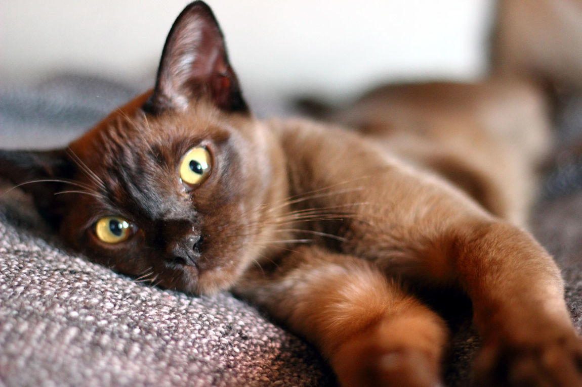 "Burmese boy ""Veikko"". Relaxing Enjoying Life Cat Pets Taking Photos EyeEm Best Shots Cut Pets Hello World Animal Pet"