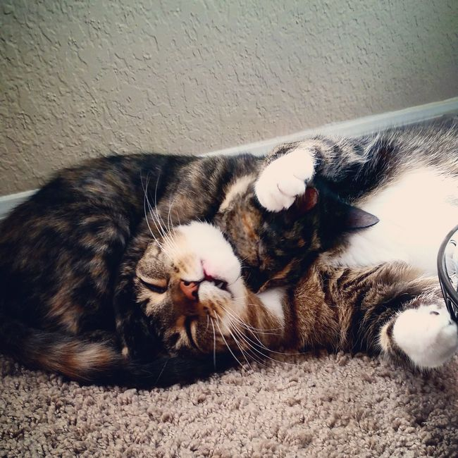 Animal Themes Domestic Animals Domestic Cat Pets One Animal Snuggle Cuddle Love Cat Wall - Building Feature Feline Resting Indoors  Relaxation Selective Focus Zoology Lying Down Animal Looking At Camera Animal Behavior Whisker Tabby