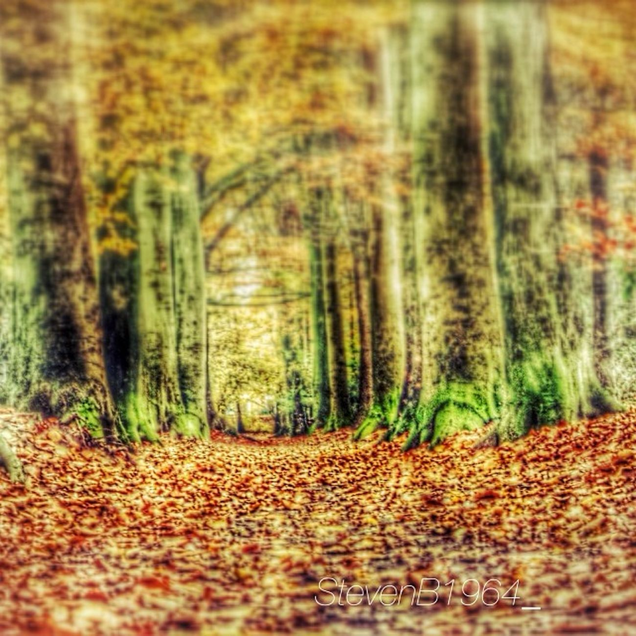 Last pictures of this fall. The worldfamous Oosterbos , eastforest. Worldfamous in Barneveld . As a child I used to play there with my friends. Fall Herfst herbst trees leaves