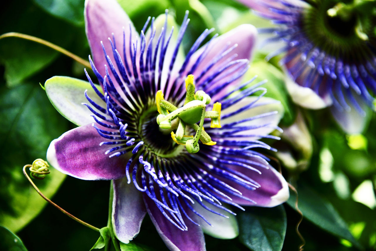 Beauty In Nature Close-up Flower Flower Head Focus On Foreground Passiflora Caerulea Passion Flower Selective Focus