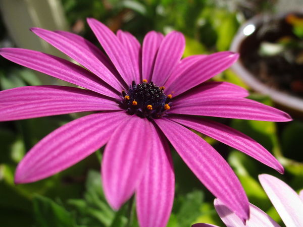 African Daisies Daisies Daisy Winter Flowers African Daisy Beauty In Nature Blooming Close-up Day Flower Flower Head Focus On Foreground Fragility Freshness Growth Nature No People Osteospermum Outdoors Petal Pink Color Plant Pollen Purple Sunshine