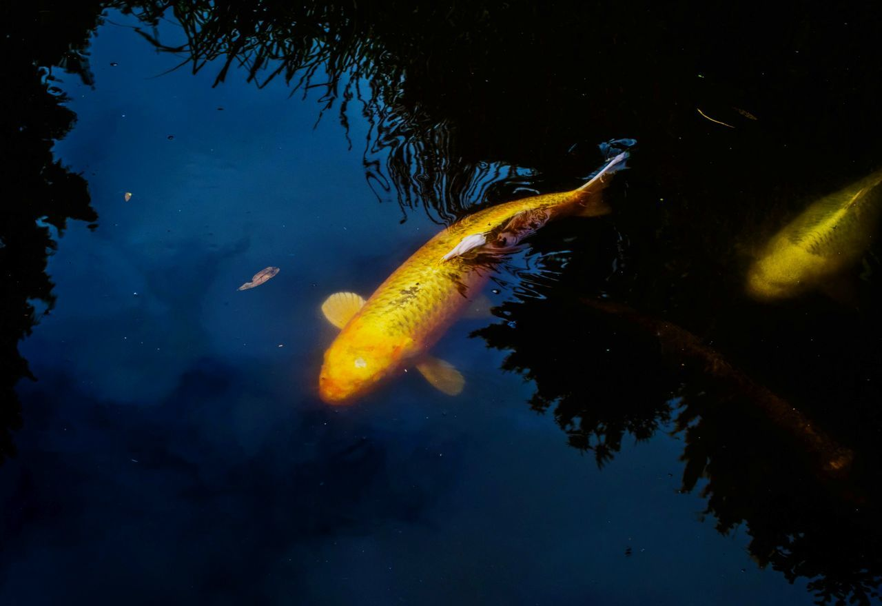 fish, water, animals in the wild, swimming, animal themes, carp, koi carp, sea life, wildlife, no people, nature, one animal, outdoors, animal wildlife, close-up, day