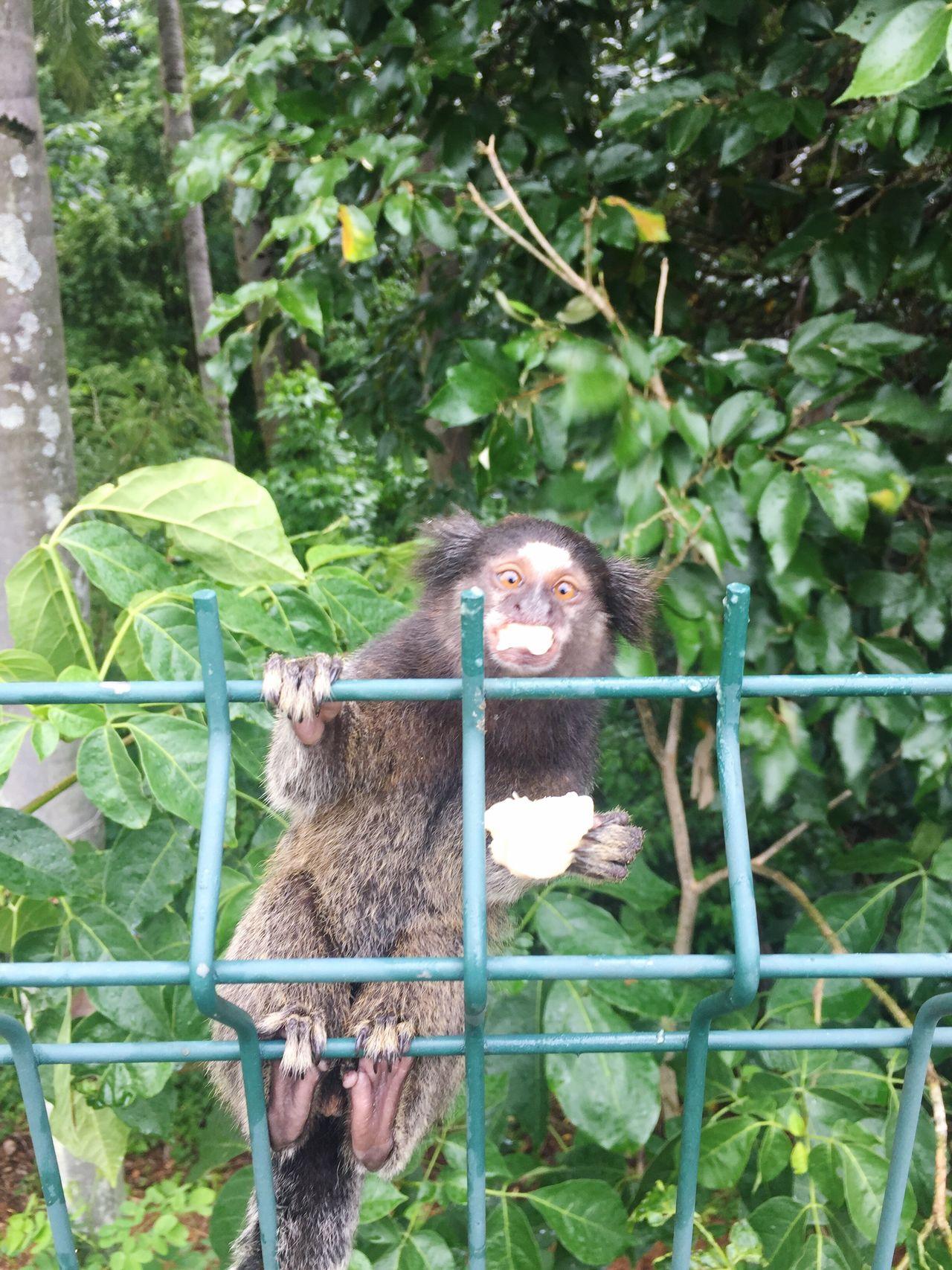 Monkey Green Color Animal Themes Outdoors Nature Mammal Tree Leaf Food Wildlife Brazil Brazil Natural Beauty Brasil Brasilnature Primate Forest