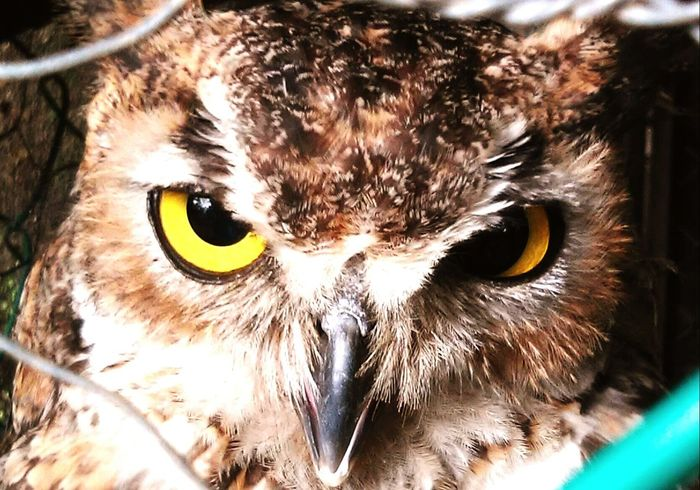 Ojos Buho Eyes Animals Animal Photography Pick Of The Day Birds Bird Photography Birds Of EyeEm  Ojos Enormes Ojos. Ojos De Buho Picoftheday Picture