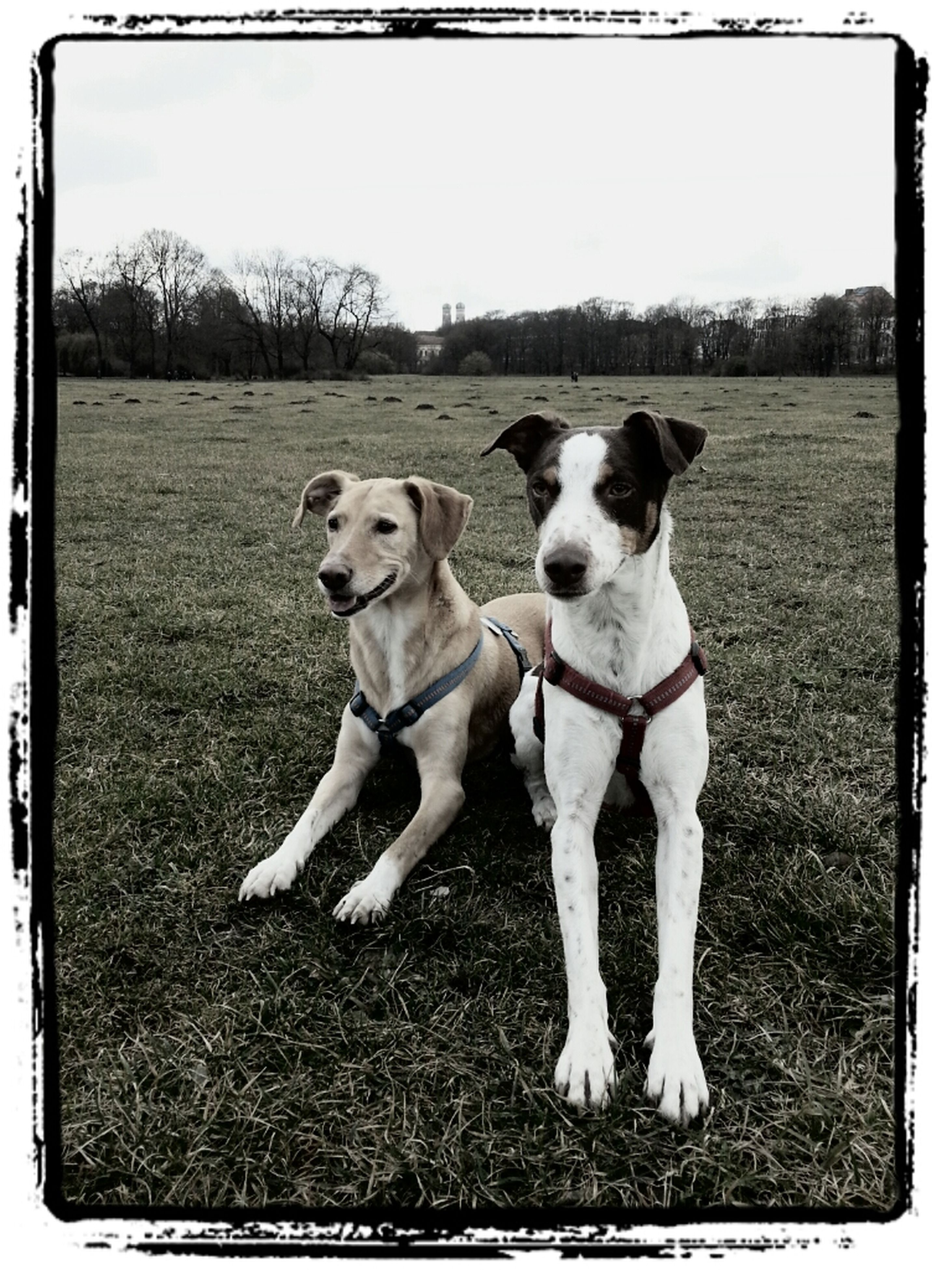transfer print, domestic animals, animal themes, dog, mammal, pets, one animal, auto post production filter, field, grass, standing, looking at camera, full length, portrait, clear sky, day, outdoors, grassy, no people, nature