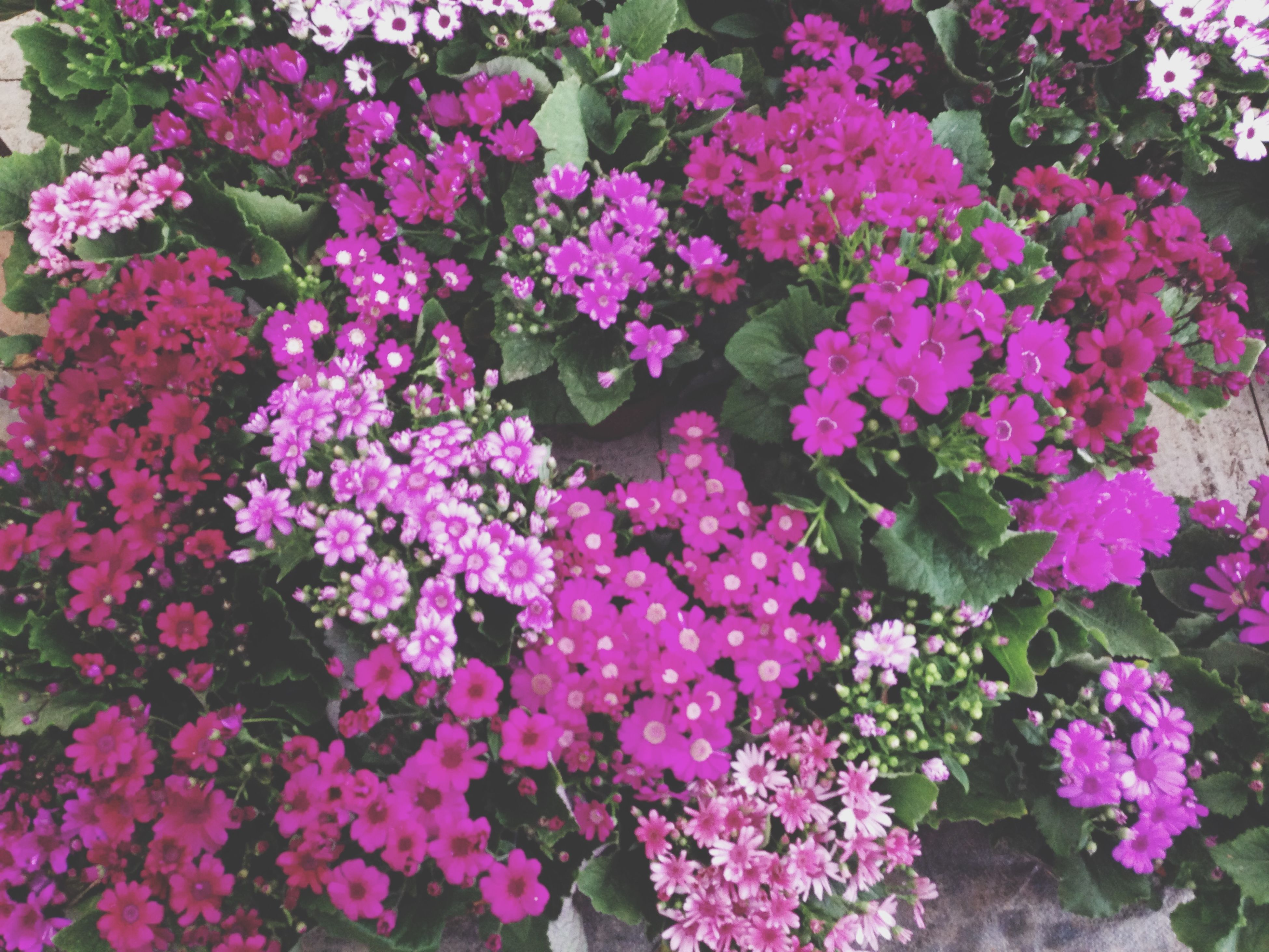 flower, freshness, fragility, petal, growth, beauty in nature, pink color, blooming, nature, plant, flower head, high angle view, in bloom, purple, park - man made space, abundance, outdoors, blossom, day, no people