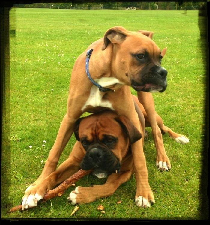 Photooftheday Two Of A Kind Eye4photography  Piggyback Iphoneonly Two Is Better Than One EyeEm Gallery Boxerlove Boxergram EyeEm Dogs Dogs Of EyeEm Doglover Pedigree IPhoneography Cheeky LoveThem  Pets Of Eyeem Petlovers Twoofakind Eyeem Market Outdoor Photography