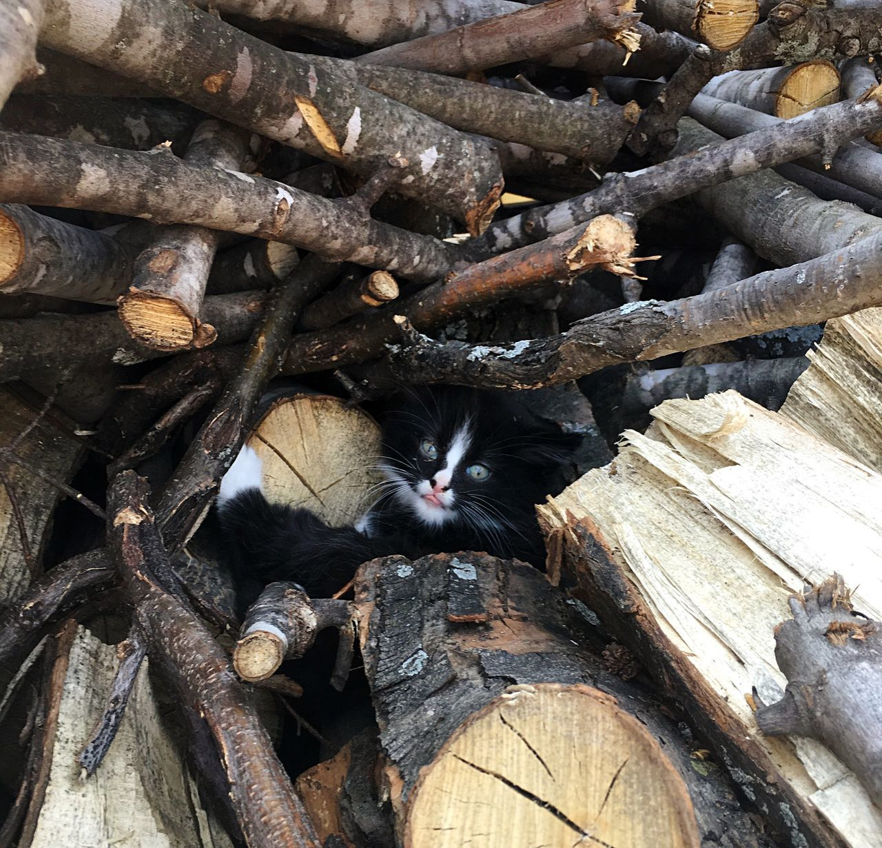 One of the baby kittens living in our wood pile. Kitten Kittens Feral Kitten Feral Cat Feralcat Feral Cats Wild Cat Wild Cats Wildcat Wildcats Kitty Kitties Kitty Love Kitty Cat Black And White Cat Kittycat Kitten 🐱 Kitty Cats  Kittylove Kittenoftheday Cat Woodpile Cats Stray Cat Stray Animal