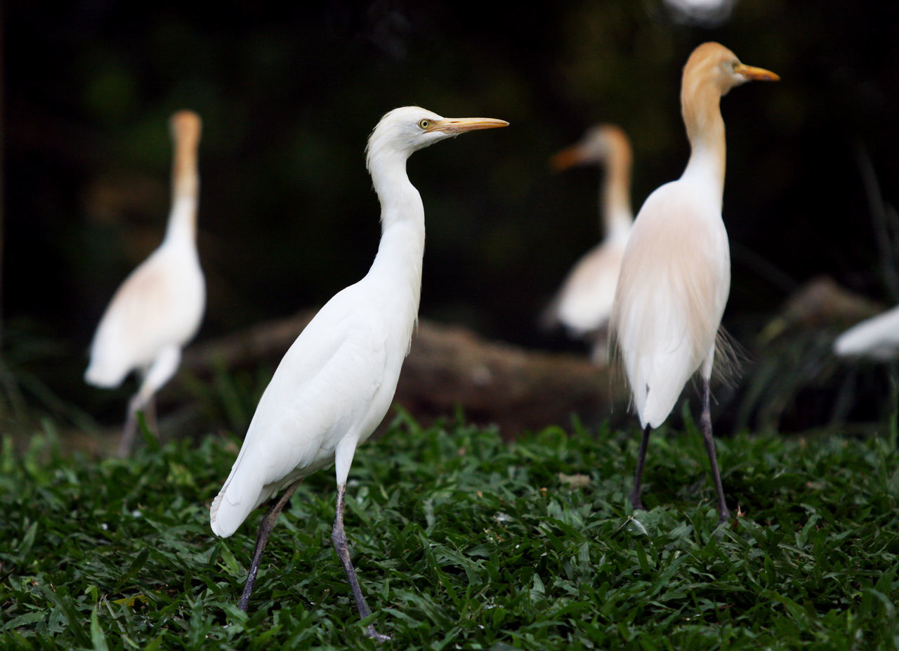 Ciconiidae Animal Themes Animal Wildlife Animals In The Wild Bird Bird Collection Ciconiidae Crane - Bird Day Field Full Length Grass Great Egret Nature No People Outdoors